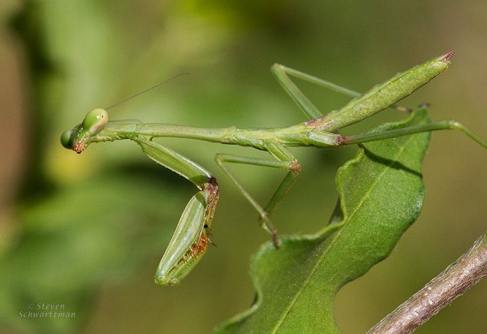 Carolina Mantis on Leaf 7054