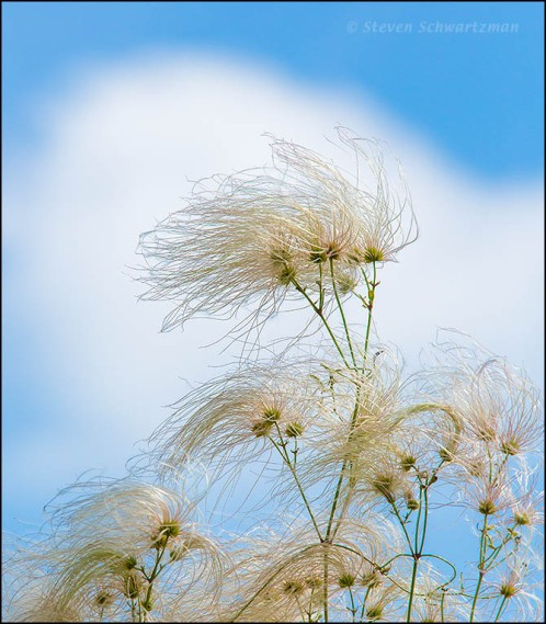 Clematis drummondii Strands with Cumulus Cloud 1414