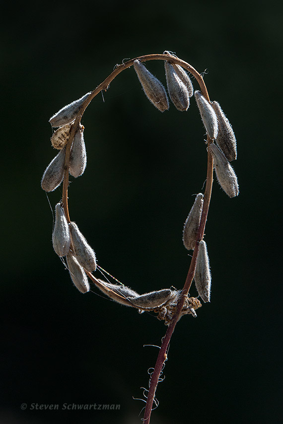 Downy Gaura Seed Stalk Looped by a Spider 2317