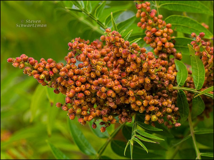 Flameleaf Sumac Fruit 5928