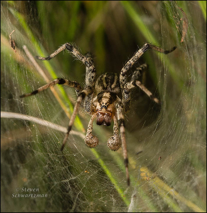 Funnel Web Spider 0086A