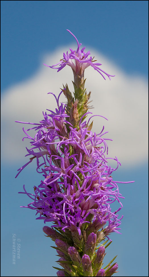Liatris Flower Spike with Cloud 6818