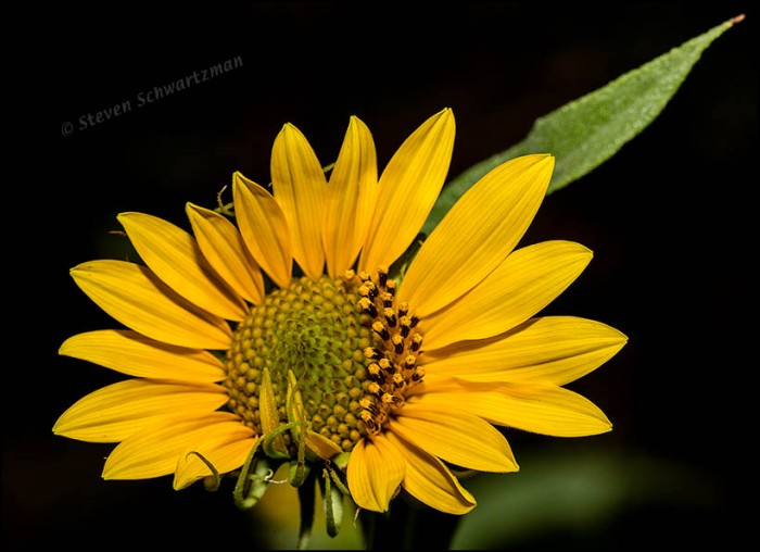 Maximilian Sunflower Head 5322