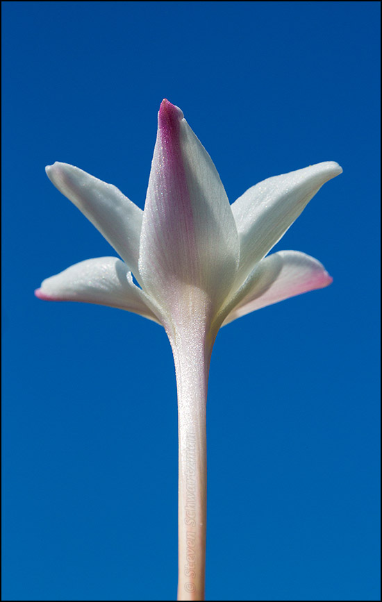 Rain-Lily Flower with Blue Sky 7041