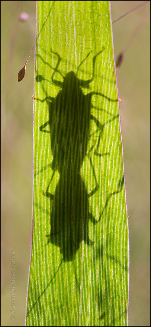 Shadows of Bugs Mating on Witchgrass 0308