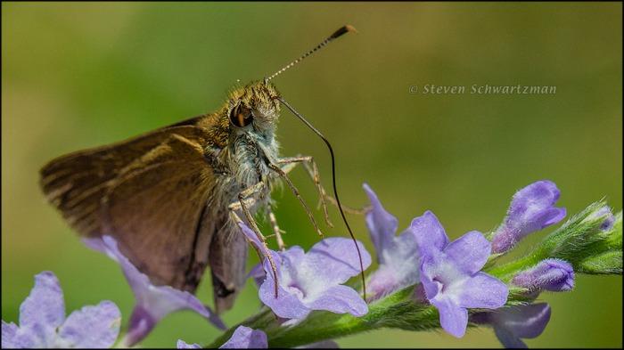 Skipper Butterfly on Verbena xutha Flowers 9768