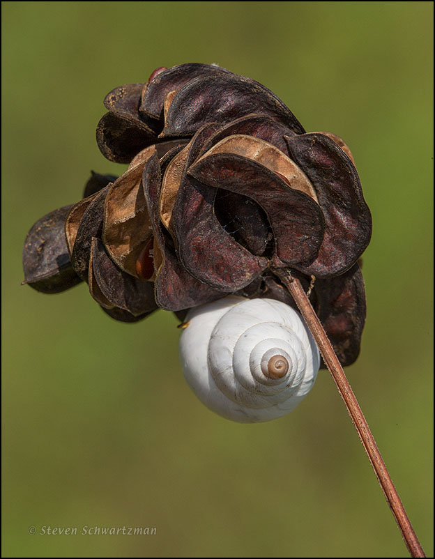 Small White Snail on Illinois Bundleflower Pods 0471