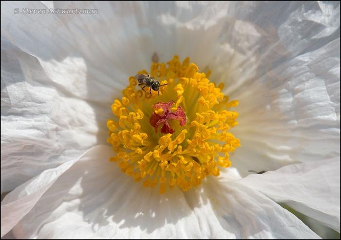 Tiny Black Bee in White Prickly Poppy Flower 1356