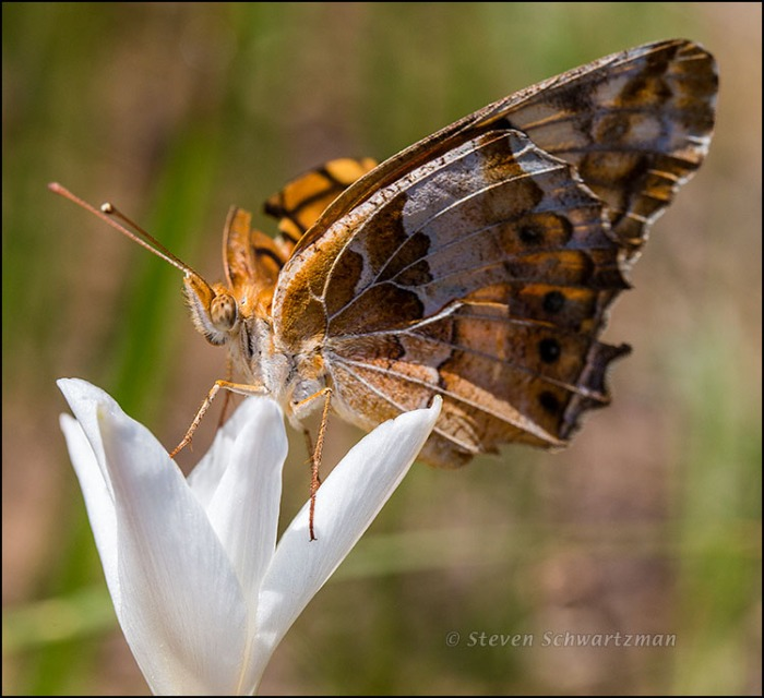 Variegated Fritillary Butterfly on Rain-Lily 7216