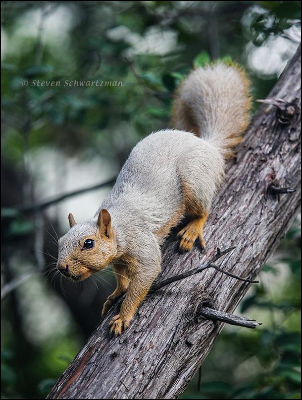 White Squirrel on Ashe Juniper Tree6178