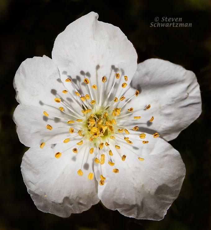 Apache Plume Flower 0061A
