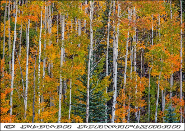 Aspen Trees Turning Color 0858