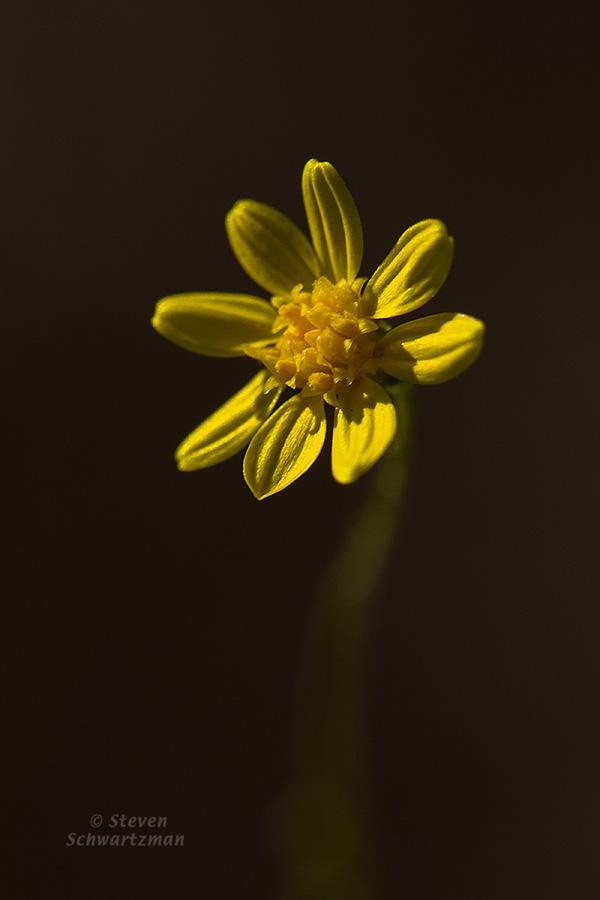 Broomweed Flower Head 2564