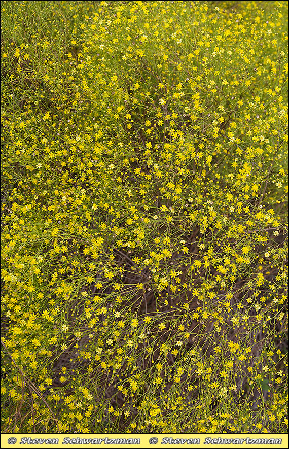 Dense Broomweed Flowers 4203