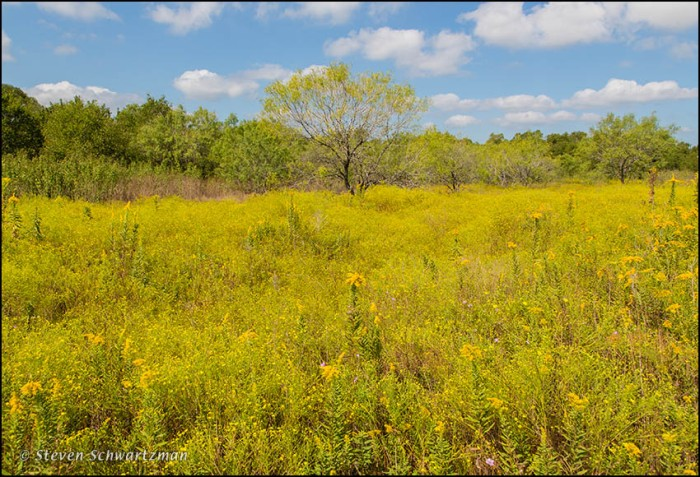 Field of Broomweed and Goldenrod Flowering 4177