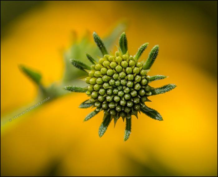 Goldeneye Bud by Flower Head 6254