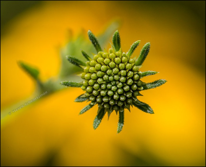 Goldeneye Bud by Flower Head 6254
