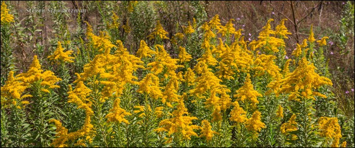 Goldenrod Flowering 4288A