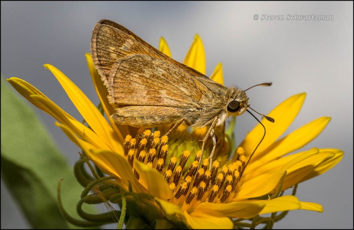 Sachem Skipper on Maximilian Sunflower 5390