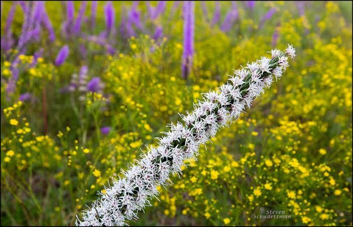 White Liatris Flower Spike by Broomweed Flowers 4733