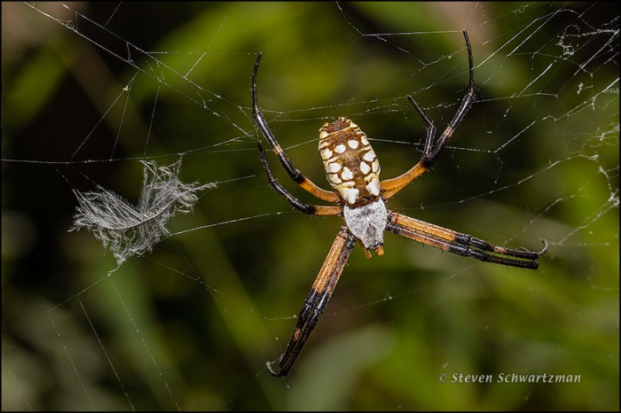 Argiope aurantia Spider and Small Feather 8238