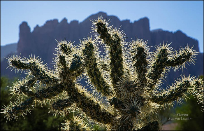 Chain Fruit Cholla by Superstition Mountains 1770