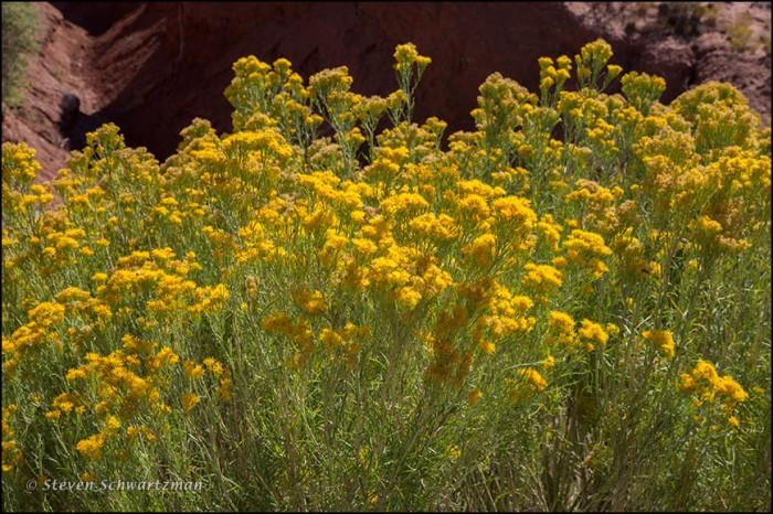 Chamisa Flowering 0610