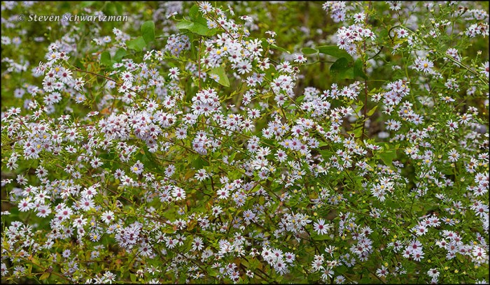 Dense Asters 1527
