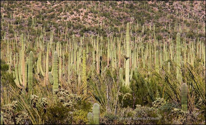 Dense Saguaros 2373