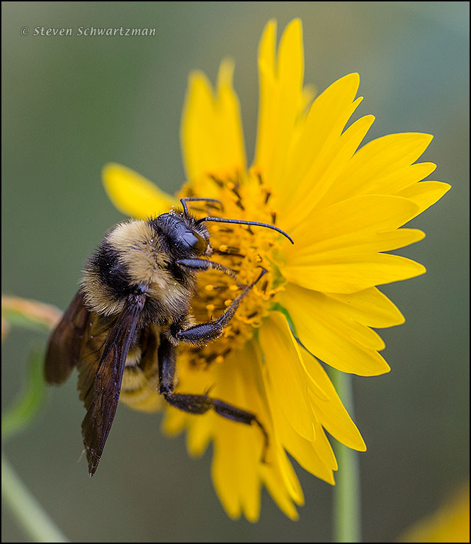 Furry Bee on Cowpen Daisy 1882