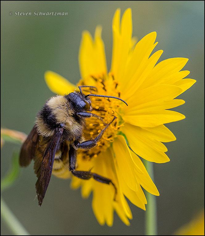 Furry Bee on Cowpen Daisy 1882