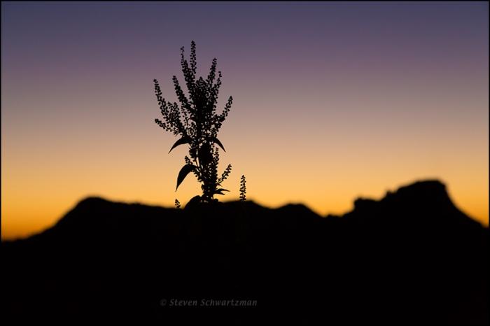 Giant Ragweed at Sunrise 7498