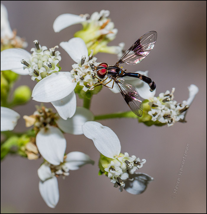 Hover Fly on Frostweed Flowers 8139