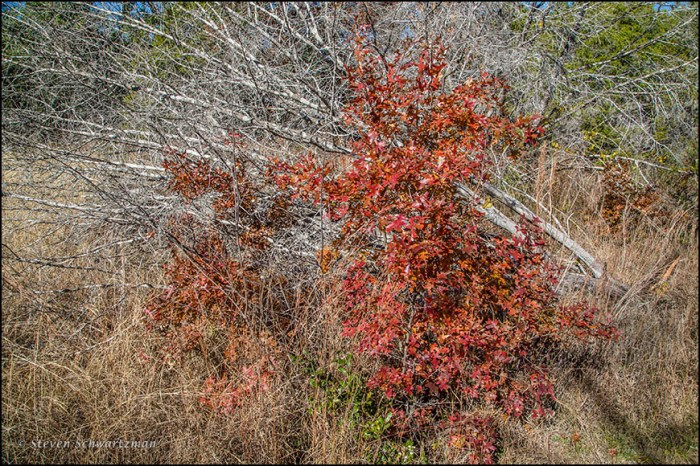 Oak Sapling Turning Red by Dead Ashe Junipers 9738