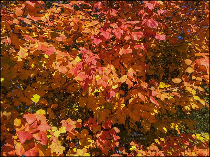 Poison Ivy Turning Colors 0361