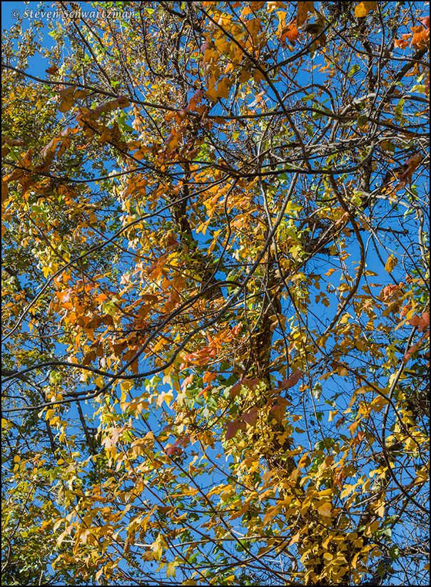 Poison Ivy Vine Turning Colors 9035
