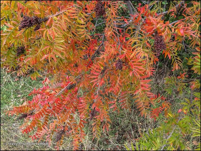 Prairie Flameleaf Sumac Turning Colors 0331
