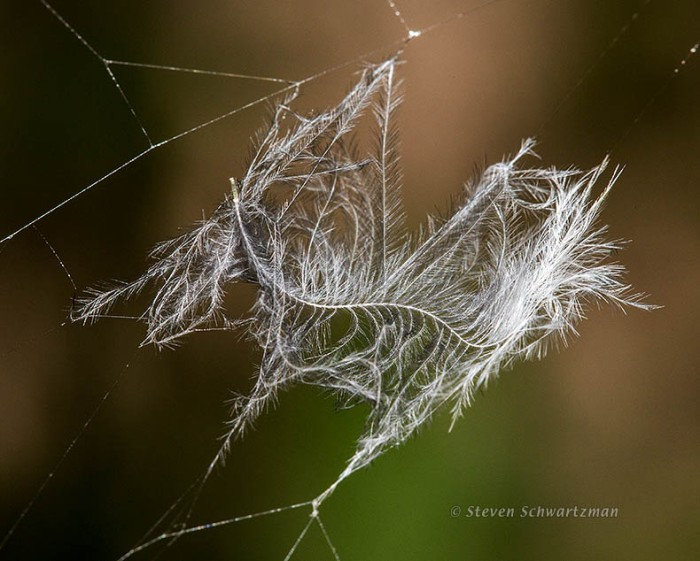Small White Feather Caught in Argiope aurantia Web 8244