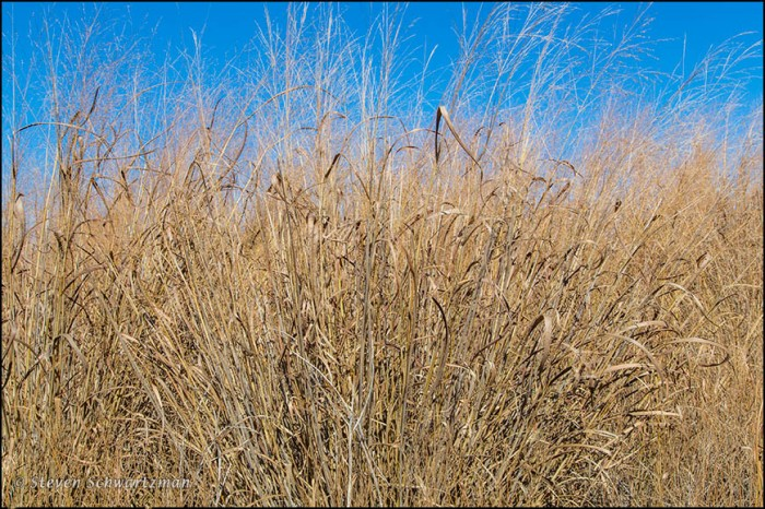 Switchgrass Drying Out with Blue Sky 9476