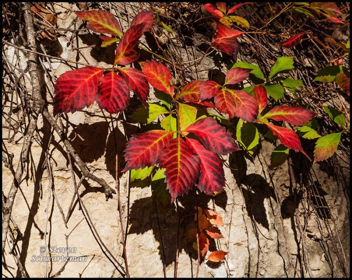 Virginia Creeper Turning Colors on Rock 4301
