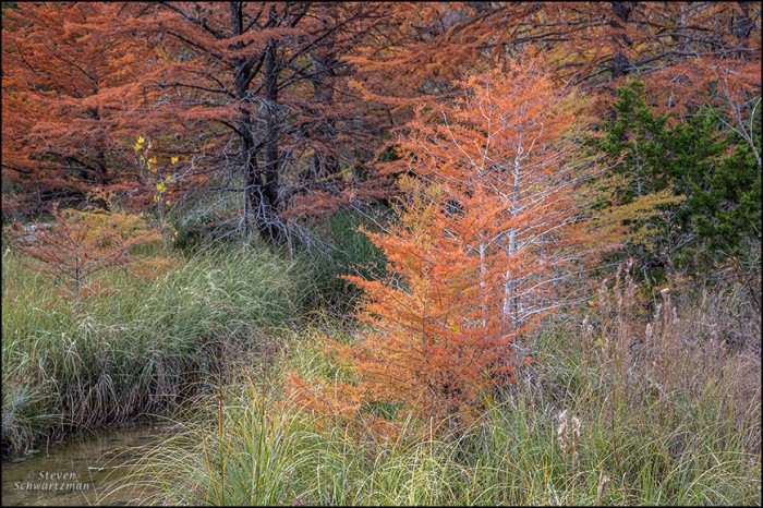 Bald Cypresses Turning Colors 6791