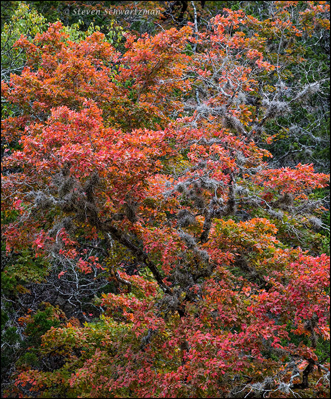 Bigtooth Maples Turning Colors 6693A