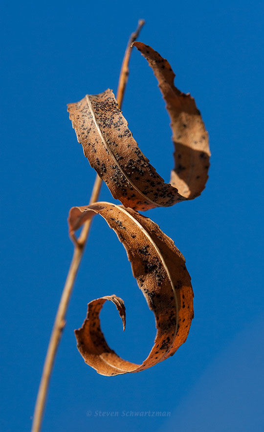 Black Willow Leaves Curling 2624