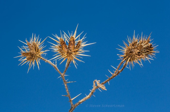 Buffalo Bur Seed Capsules Dried Out 6490
