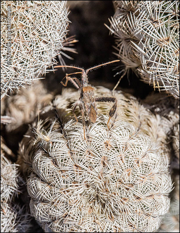 Bug on Lace Cactus 6701