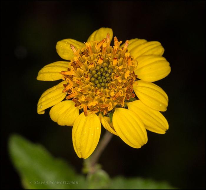 Bush Sunflower Flower Head 0810