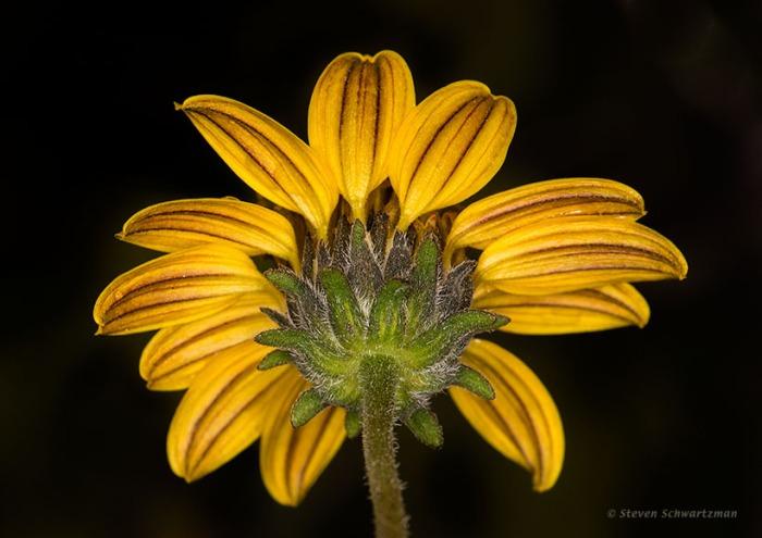 Bush Sunflower from Below 0723
