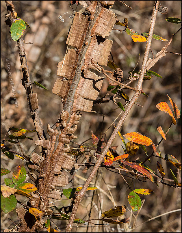Cedar Elm Flanges and Changing Leaves 1055