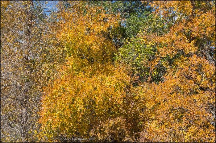 Cedar Elms Turning Colors 8330