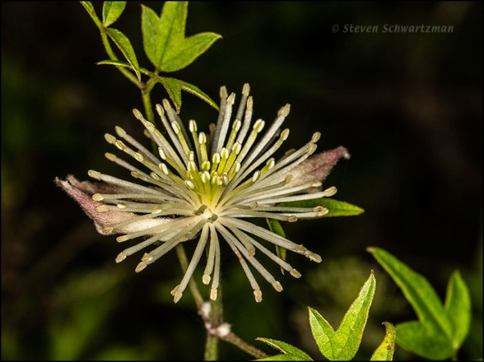Clematis drummondii Flower Opening 0684